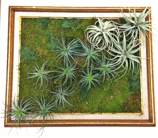 Light weight tillandsia living wall art soil less for Air plant art