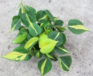philodendron_brazil