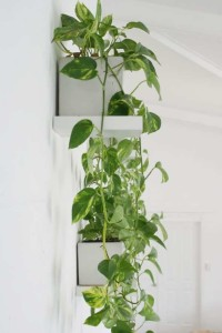 pothos living wall