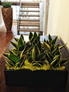 Sanseveria Low Bowl Planter