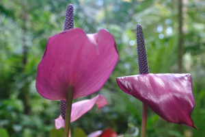 Purple-Anthurium